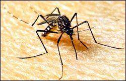Picture-of-a-mosquito